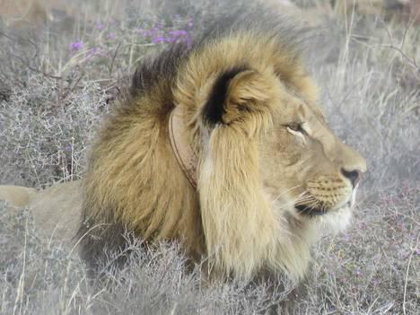 Sylvester-leijona Etelä-Afrikan kansallispuistoviranomaisten toimittamassa kuvassa.