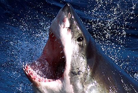 Valkohait käyvät ihmisten kimppuun vain kun ne ovat itse uhattuina.