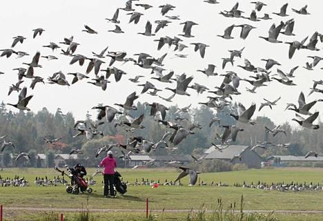 Syksyllä 2012 valkoposkihanhia oli runsaasti Hiekkaharjun golfkentällä.