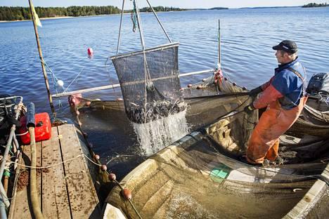 Kalastaja Timo Toivanen nostaa saaliin pintaan rysästä.