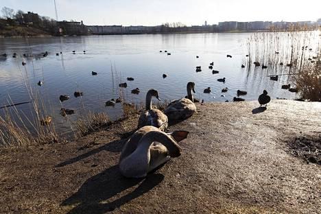 14. helmikuuta: Nuoria joutsenia ja sorsia sulalla Töölönlahdella.