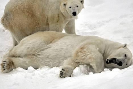 Jääkarhu-uros Manasse (edessä) ei ole nähnyt pentuaan, joka on emon kanssa pesässä. Manassen takana Venus-emon sisko Waleska.