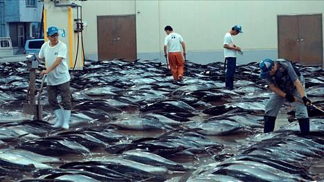 Pyydettyä, myyntiin menevää tonnikalaa Japanissa.