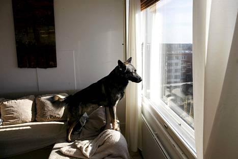 Koira on seuraeläin, jota ei ruotsalaisten mielestä pidä jättää yksin pitkän työpäivän ajaksi.