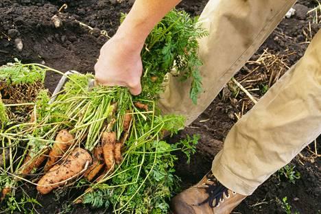 Jos naatteja käyttää ruoanvalmistuksessa, on hyvä kerrata niihin liittyvät riskit. Esimerkiksi porkkanoiden pienissä harvennusnaateissa nitraattia on vähemmän kuin isoissa lehdissä.