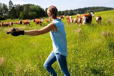 Johanna Jahkola siirtää karjan ja aitalangan kaksi kertaa päivässä tilallaan Urjalassa.