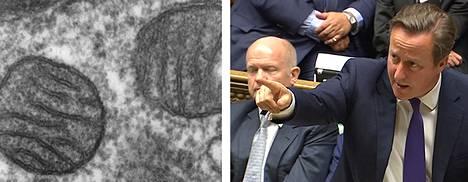 Kuvassa mitokondrio ja Britannian pääministeri David Cameron parlamentissa viime syksynä.