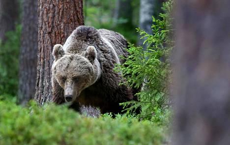 Karhu käyskentelevät vanhoissa metsissä dokumentissa Suomalaiset ikimetsät.