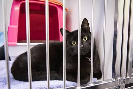 Helsingin alueella vapaana liikkuvista kissoista tulee runsaasti yhteydenottoja kaupungin eläinsuojeluvalvontaan. Viikin löytöeläintalolla hoidettiin viime vuonna liki 300 kissaa.