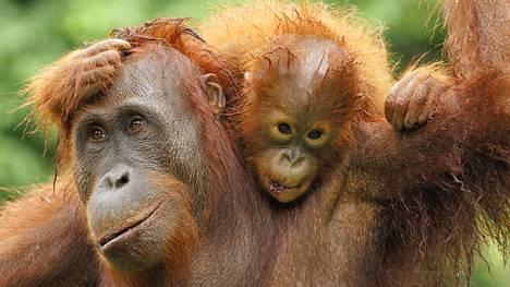 Orangissa on tuttuja piirteitä.