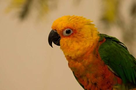 Palmuaratti Axel. Palmuaratit ovat kotoisin Etelä-Amerikasta.