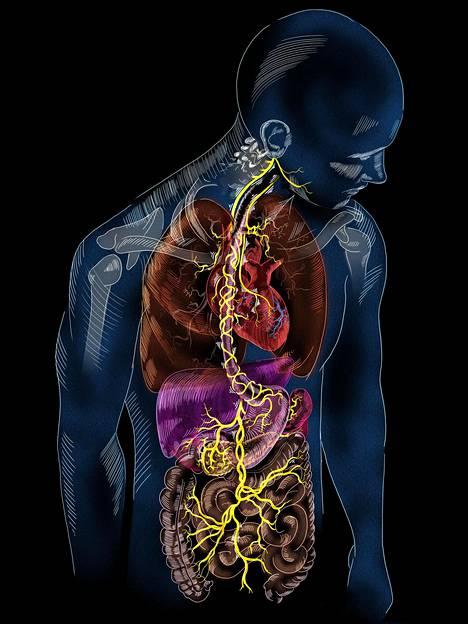 Vagushermo vaikuttaa kehossa ratkaisevasti myös suoliston hyvinvointiin.