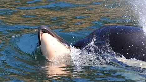 Miekkavalas on kantanut kuollutta poikastaan jo yli viikon ajan.