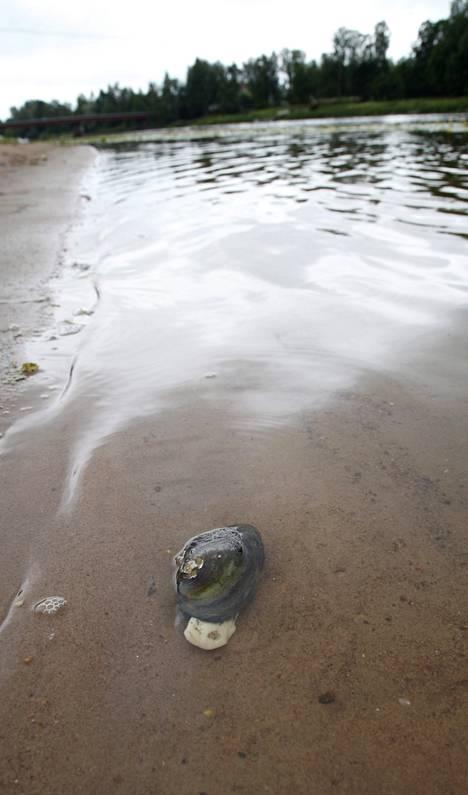 Kuollut simpukka kellui uimarannan vedessä Ulvilassa.
