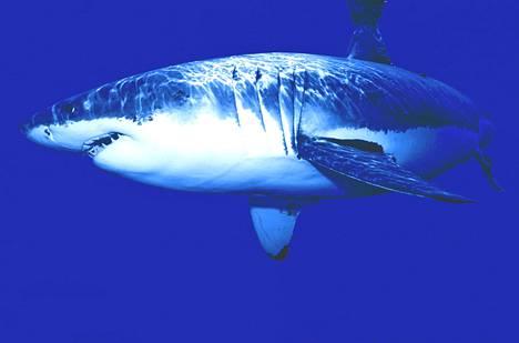 Useiden hailajien pitää uida koko ajan, että vesi virtaa kyljessä näkyvien kidusten läpi ja hai saa happea.
