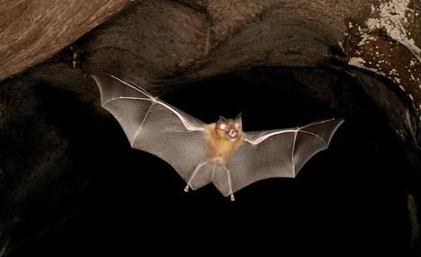 Aasianherkko (Rhinolophus affinis) lennähtää luolasta Malesiassa.