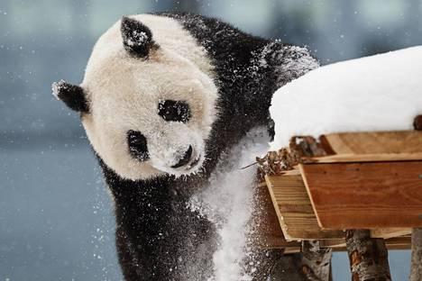 Jīn Bǎobǎo eli Lumi peuhasi lumessa Pandatalon avajaispäivänä lauantaina Ähtärissä.