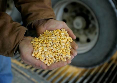Maissifutuurien hinnat ovat nousseet tuntuvasti tänä vuonna.