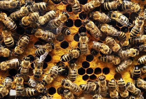 Tarhamehiläiset elävät yhdyskunnissa, joihin kuuluu kuningatar sekä suuri määrä kuhnureita ja työmehiläisiä.