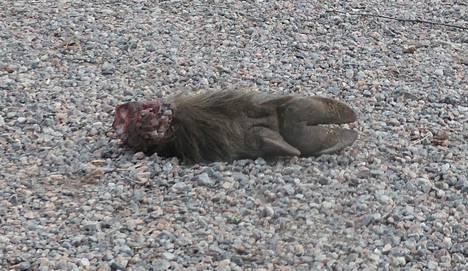 Sorkka lojui maassa Lauttasaaressa maanantaiaamuna.