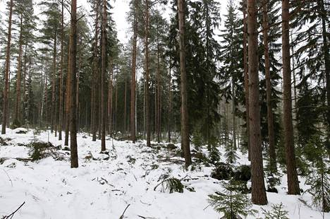 Prior to the suspension of felling, the city had thinned this pine tree at the northern end of Uutela.  Under the pines, oak seedlings are naturally sown.