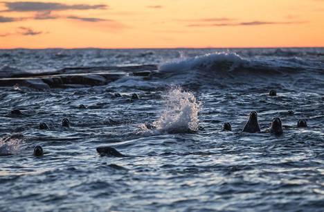 Hylkeitä uiskentelemassa Itämeressä lähellä Suomen ja Ruotsin rajaa.