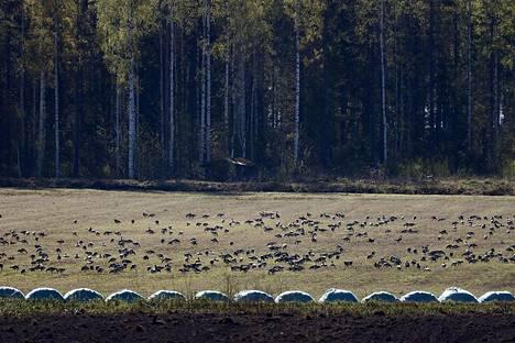Hanhiparvien rippeet popsivat ruohoa Koivikon kartanon mailla Kiteellä vielä tiistaina 26. toukokuuta.