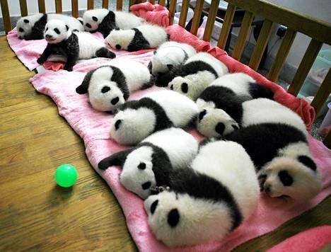 Pandanpoikaset nukkuivat Kiinan Chengdussa sijaitsevassa tutkimuslaitoksessa, jossa kasvatetaan jättiläispandoja.