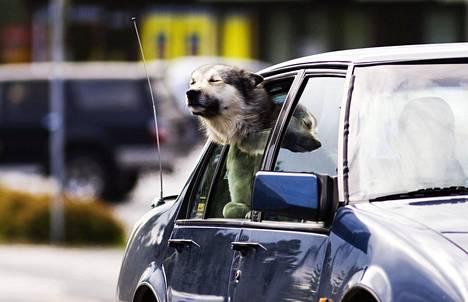 Eläimen jättäminen kuumaan autoon on eläinsuojelurikkomus.