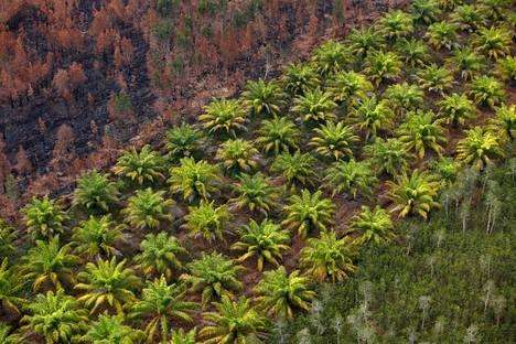 Palmuöljyplantaasi poltetun metsän reunassa Indonesiassa syyskuussa 2019.