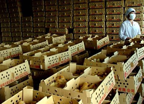 Purkutuomion saanut suurkanala sars-taudin alkulähteillä Guangdongin maakunnan Shanghlangin kylässä jätettiin näyttämättä Maailman terveysjärjestön alueella vierailleille tutkijoille 2003.