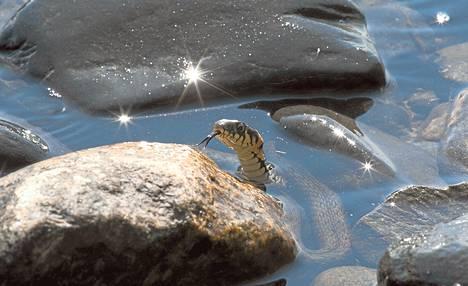 Rantakäärme säikähtää kuvaajaa ja pakenee rantaveteen. Tällaisessa tilanteessa rantakäärmeet menevät usein hetkeksi kiven taakse piiloon. Sieltä ne katselevat ja haistelevat, onko turvallista nousta kuivalle maalle. Käärme vie kaksihaaraisella kielellään hajuja kitalakensa aistimeen.