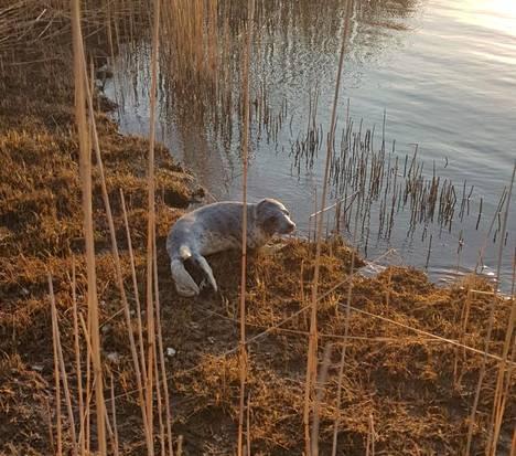 Kuutti ei tahtonut heti pulahtaa takaisin veteen.
