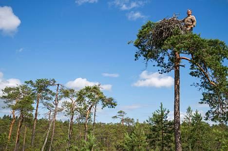 Rengastaja Juhani Karhumäki tarkastelee puun latvasta maisemia.