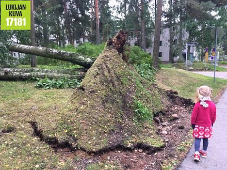 Kaatunut puu Kaarenjalassa Kontulassa.