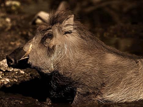 Visayanpartasika on uhanalainen laji, joka elää muutamalla saarella Filippiineillä.