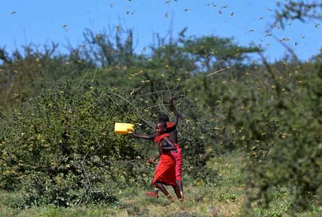 Heinäsirkkaparvi nousi lentoon maasta, kun nuoret juoksivat niiden valtaaman laidunmaan läpi Larisoro-kylässä Keniassa tammikuun lopussa.