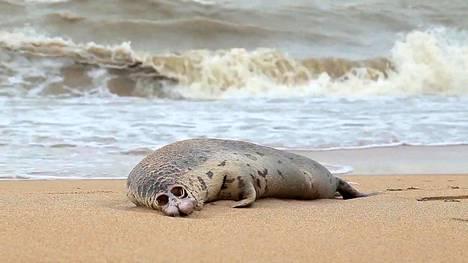 Kuollut hylje Kaspianmeren rannalla Dagestanissa Mahatškalassa 7. joulukuuta.