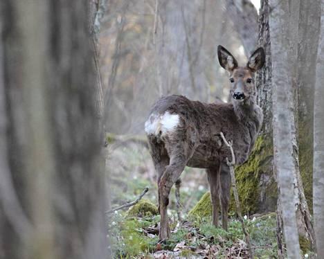 Vera Mäkelä valokuvasi metsäkauriin Tammiston luonnonsuojelualueella toukokuun alussa.