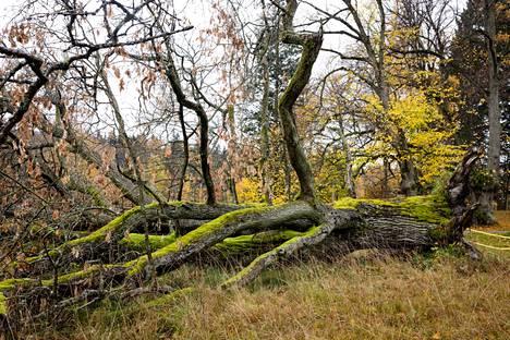 Tullisaaren kartanopuiston yli 200-vuotias tammivanhus on rauhoitettu.