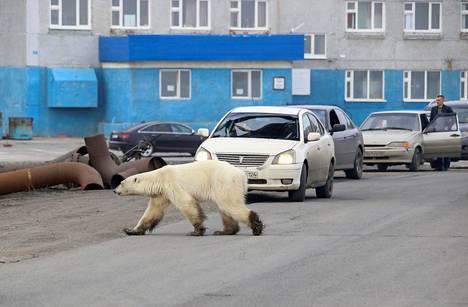Jääkarhu ilmestyi sunnuntai-iltana Pohjois-Siperiassa sijaitsevaan Norilskin kaupunkiin.