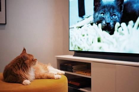 Noel-kissa katselee mielellään kissavideoita vastapainona palloleikeille.