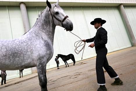 Andalusialainen hevosmies odotti vuoroaan kansainvälisen Sicab-hevosnäyttelyn yhteydessä järjestettävässä kilpailussa Sevillassa Espanjassa. Näyttely kestää 7. joulukuuta asti, ja siihen osallistuvat vain puhdasrotuiset espanjalaishevoset.