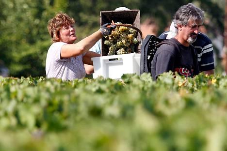 Työntekijä tyhjensi valkoisia rypäleitä koristaan Chateau Haut Brionin viinitilalla lähellä Bordeauxia.