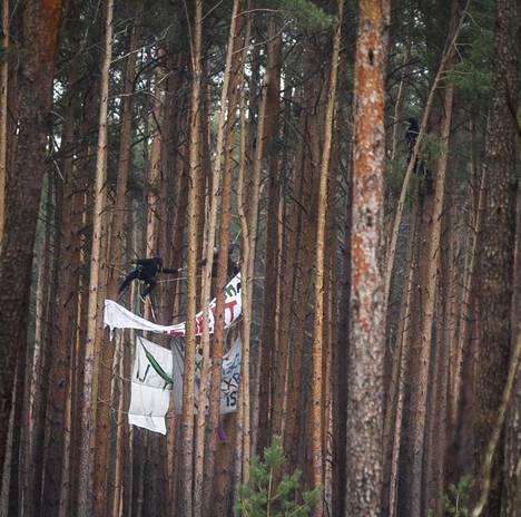 Aktivistit kiipesivät puihin estääkseen niiden kaatamisen.