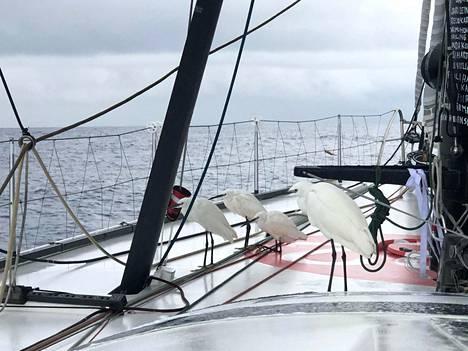 Ari Huusela kuvasi maanantaina veneensä kyytiin lentäneitä pitkäjalkaisia.
