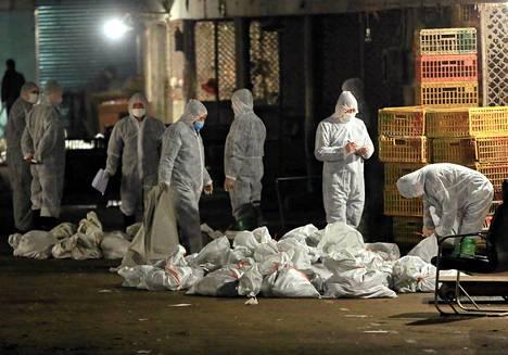 Kiinalaiset terveysviranomaiset ryhtyivät tappamaan Huhuain markkinoille tuotuja lintuja ja laittoivat ne säkkeihin Shanghaissa.