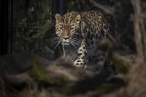 Korkeasaaressa on ennestään yksi amurinleopardipariskunta. Kuvassa amurinleopardinaaras.