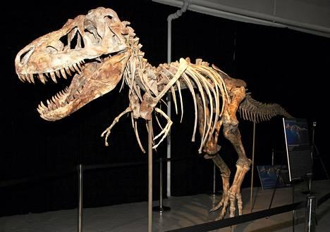 Tyrannosaurus bataarin lähes täydellistä luurankoa säilytetään Floridassa.