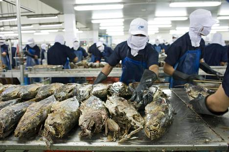 Työntekijät käsittelivät tonnikaloja thaimaalaisella kalatuotetehtaalla vuonna 2011.